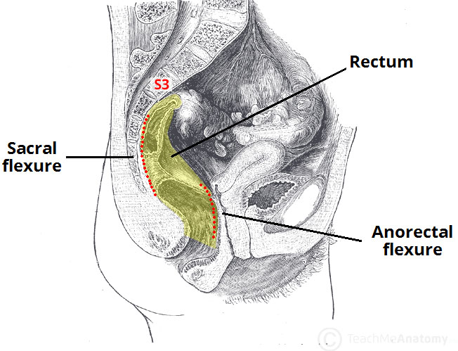 Fig 1 - The sacral and anorectal flexures of the rectum.