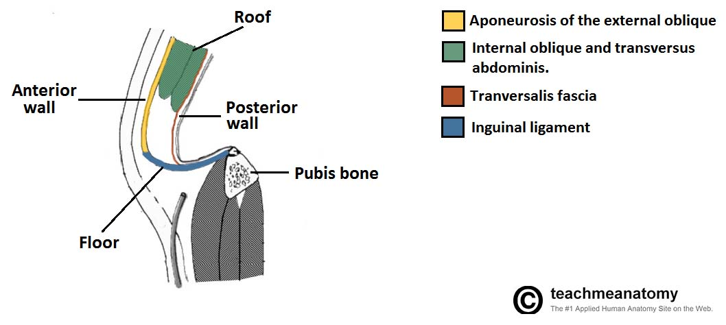Fig 1.3 - Sagittal view of the inguinal canal, showing the borders.