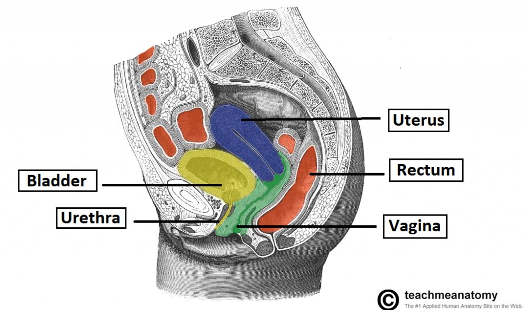 Fig 1.0 - Sagittal section of the female pelvis, showing the anatomical position of the bladder.