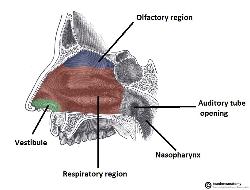 the nasal cavity - structure - vasculature - innervation, Human Body