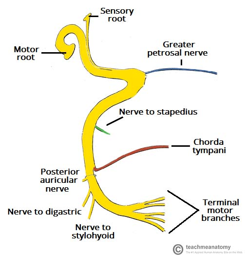 Fig 1.1 - Schematic of the course and branches of the facial nerve.