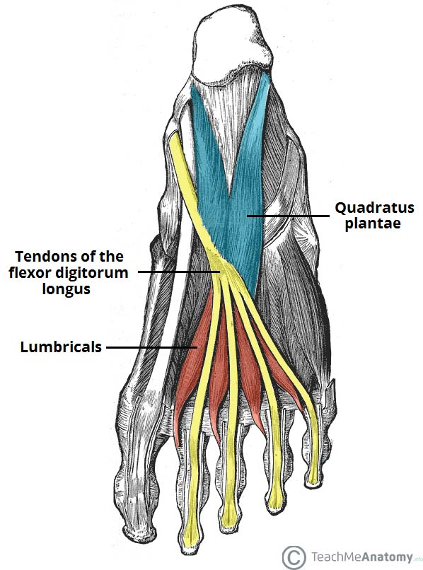 Fig 1.1 - The second layer of the plantar muscles.