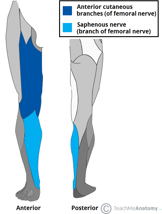 Fig 1.2 - Cutaneous branches of the Femoral Nerve