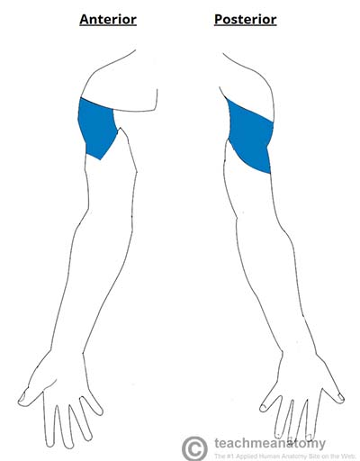 Fig 3 - The sensory innervation of the axillary nerve. Known as the regimental badge area.