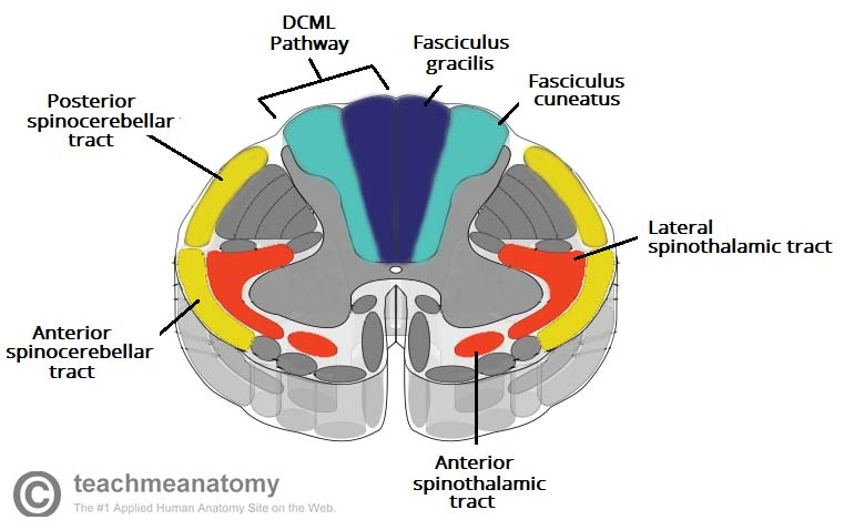 Fig 1.2 - The location of the ascending tracts, within the spinal cord.