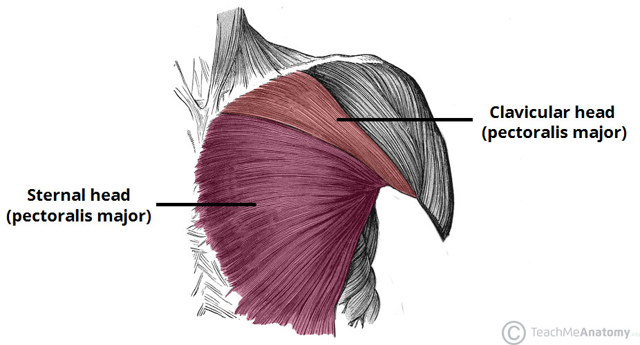 Fig 1 - The sternal and clavicular heads of the pectoralis major.