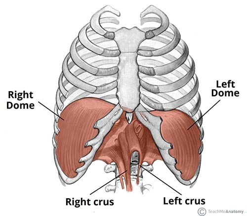 Fig 1.0 - The diaphragm is split into two lobes, left and right. Note the vertebral attachments of the diaphragm are the left and right crura.
