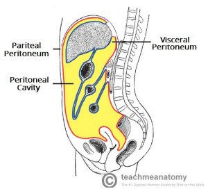 Fig 1.0 - The structure of the peritoneum and the peritoneal cavity. Note how the visceral layer invaginates to cover the organs.