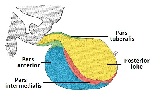 Fig 1.1 - The structure of the pituitary gland.