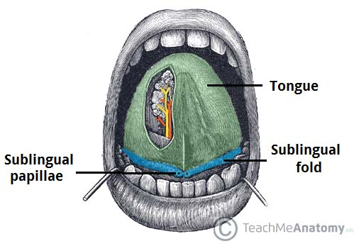 Fig 1.0 - The sublingual folds and papillae.