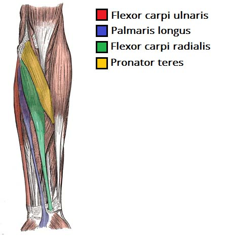 muscles of the anterior forearm - flexion - pronation - teachmeanatomy, Muscles