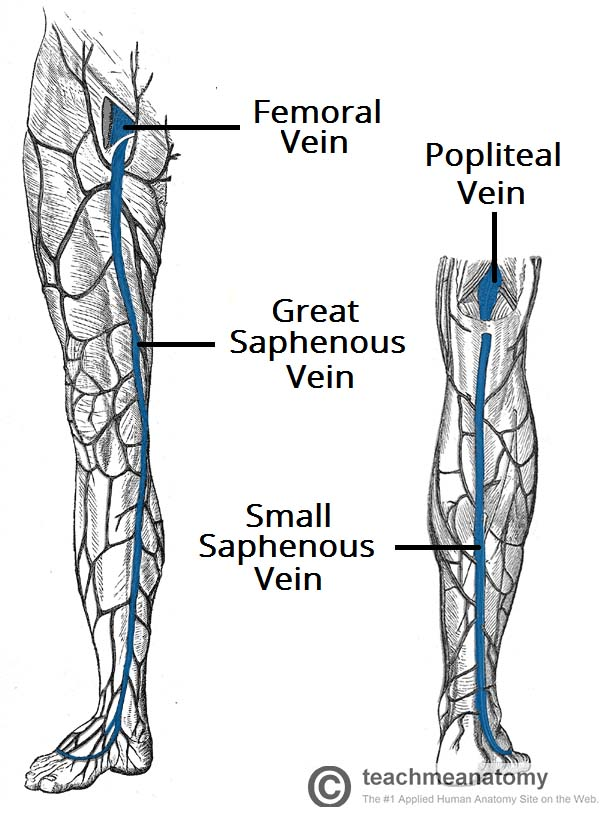 Fig 1.1 - The two major superficial veins of the lower limb.