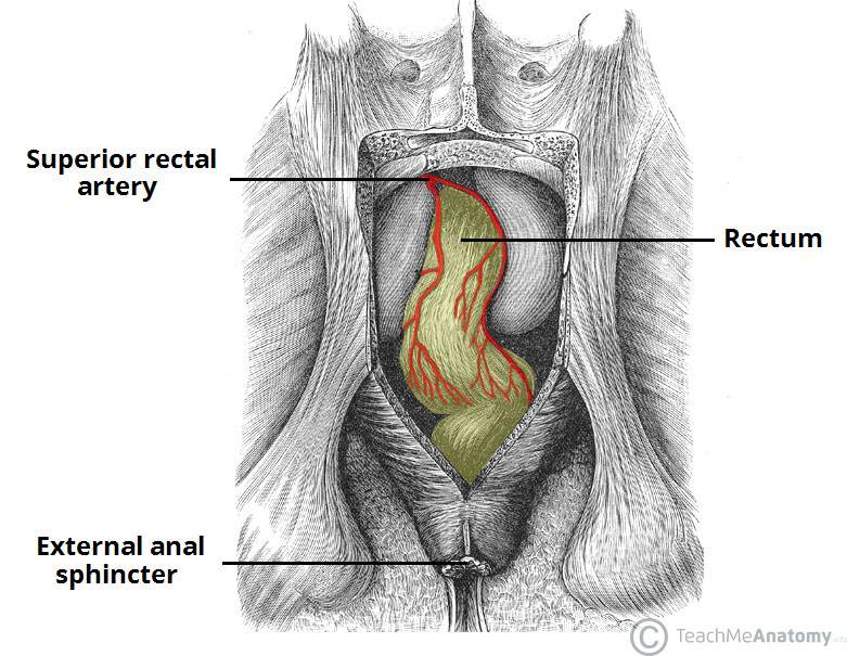 Fig 3 - The superior rectal artery, supplying the upper aspect of the rectum.