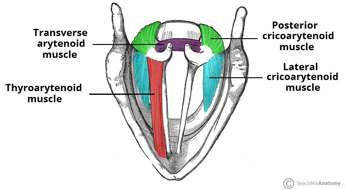 Fig 2 - Superior view of the intrinsic muscles of the larynx.