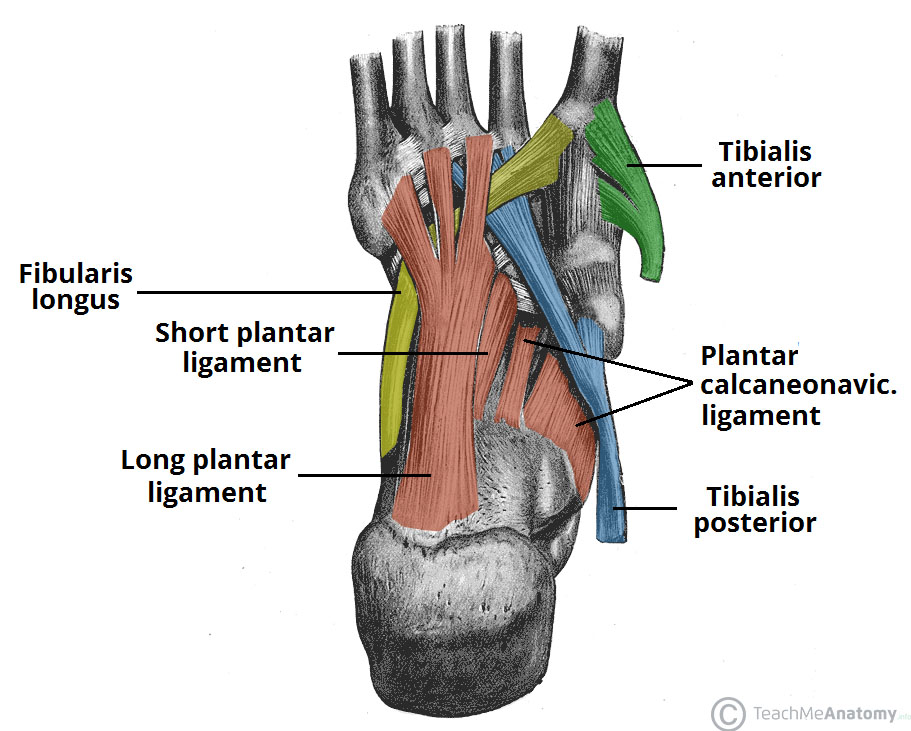 Fig 2 - Supporting structures of the foot arches.