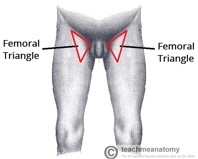 Fig 1.0 - Surface anatomy of the femoral triangle.