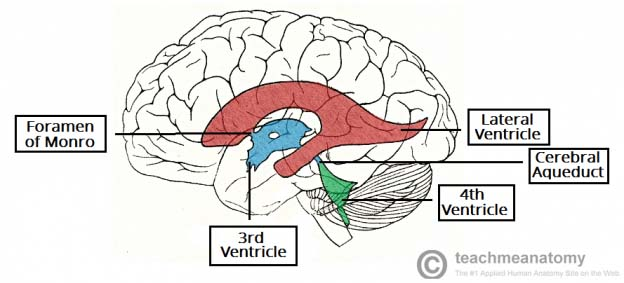 Fig 1.1 - The anatomical postioning of the ventricles of the brain.