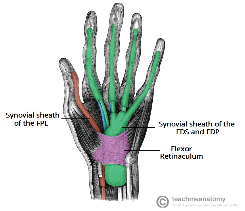Fig 2 - The muscular and tendinous components of the carpal tunnel