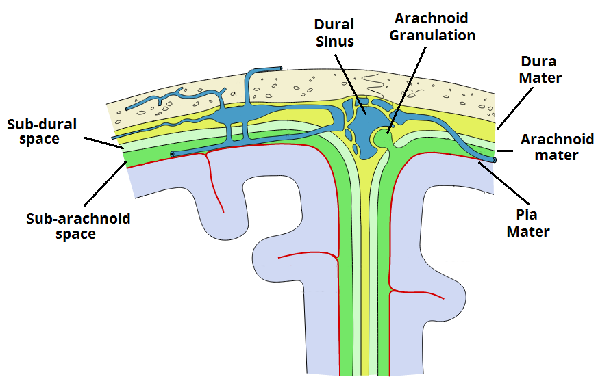Fig 1.3 - Coronal section of the skull, meninges and cerebrum. An arachnoid granulation is visible in the center.