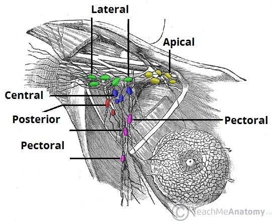 Fig 2 - The 5 groups of axillary lymphatic nodes. All groups drain into the apical nodes.