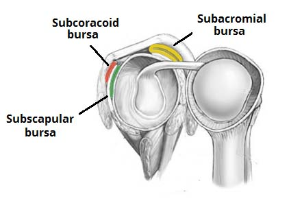 Fig 1.1 - The major bursae of the shoulder joint.