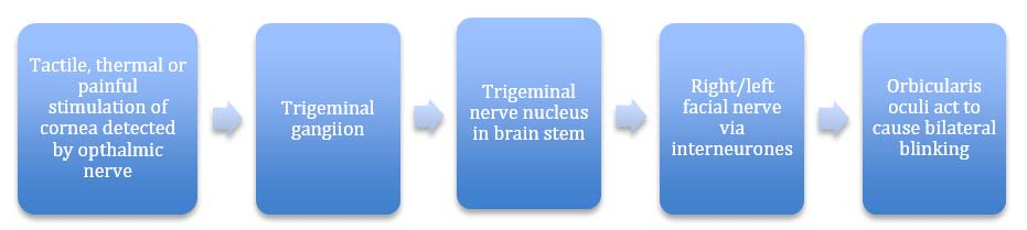 Fig 1.3 - The corneal reflex pathway.