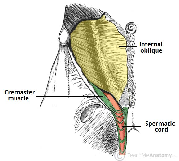 Fig 1.0 - The cremaster muscle. Note the looping structure.
