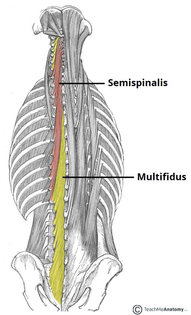 Fig 1.2 - The semispinalis and multfidus muscles.