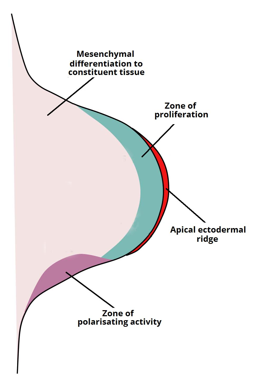 Fig 1.1 Development of the Limb Bud showing Apical Ectodermal Ridge and Underlying Tissues