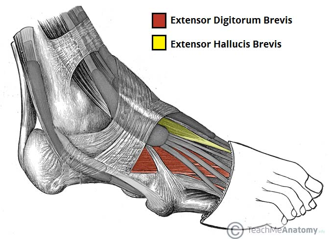 Fig 1.0 - The dorsal layer of foot muscles.