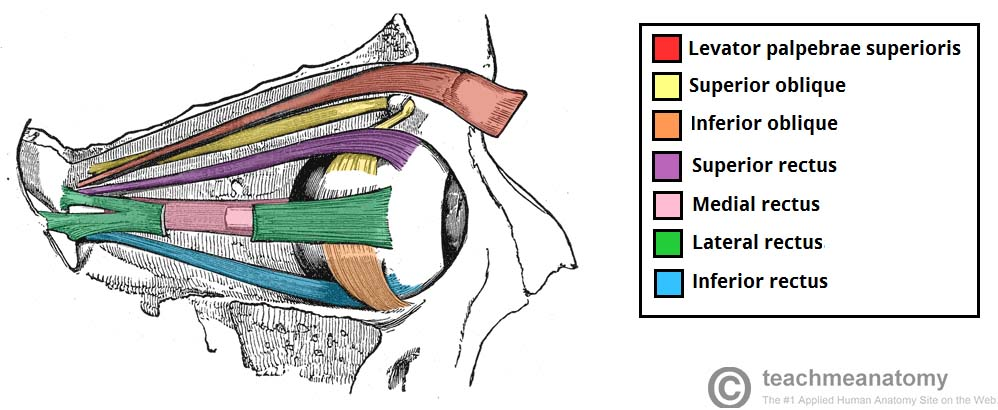 The Extraocular Muscles The Eyelid Eye Movement Teachmeanatomy