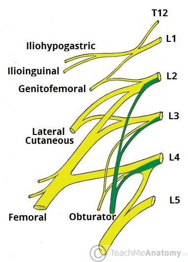 the lumbar plexus - spinal nerves - branches - teachmeanatomy, Muscles