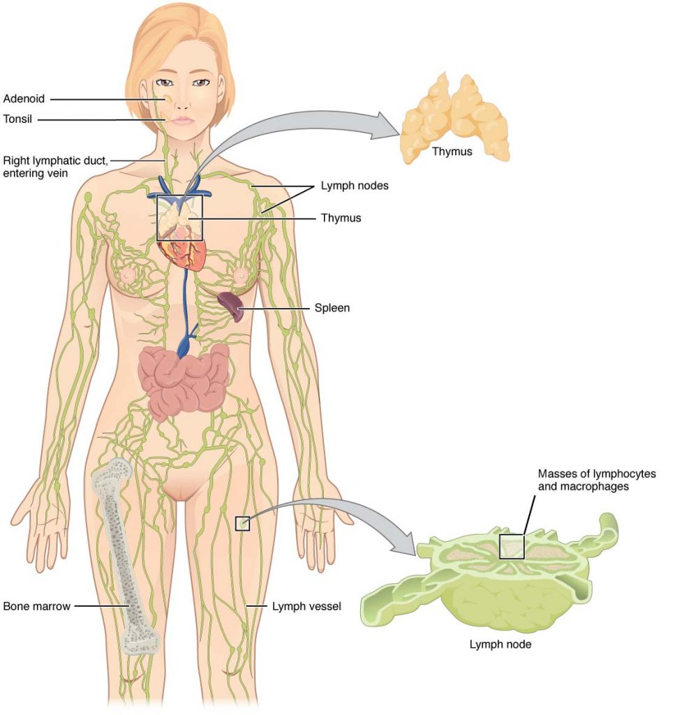 fig 1 – overview of the lymphatic system  it contains lymphoid organs,  vessels, nodes and lymph fluid