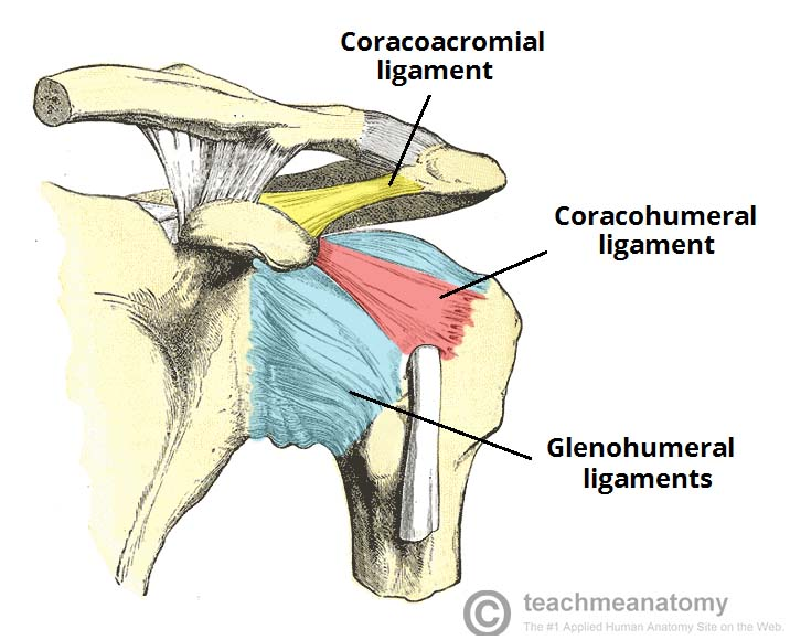 Fig 1.2 - The ligaments of the shoulder joint. The transverse humeral ligament is not shown on this diagram.