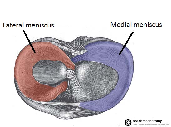 fig 4 – the menisci of the knee joint  superior surface of the tibia
