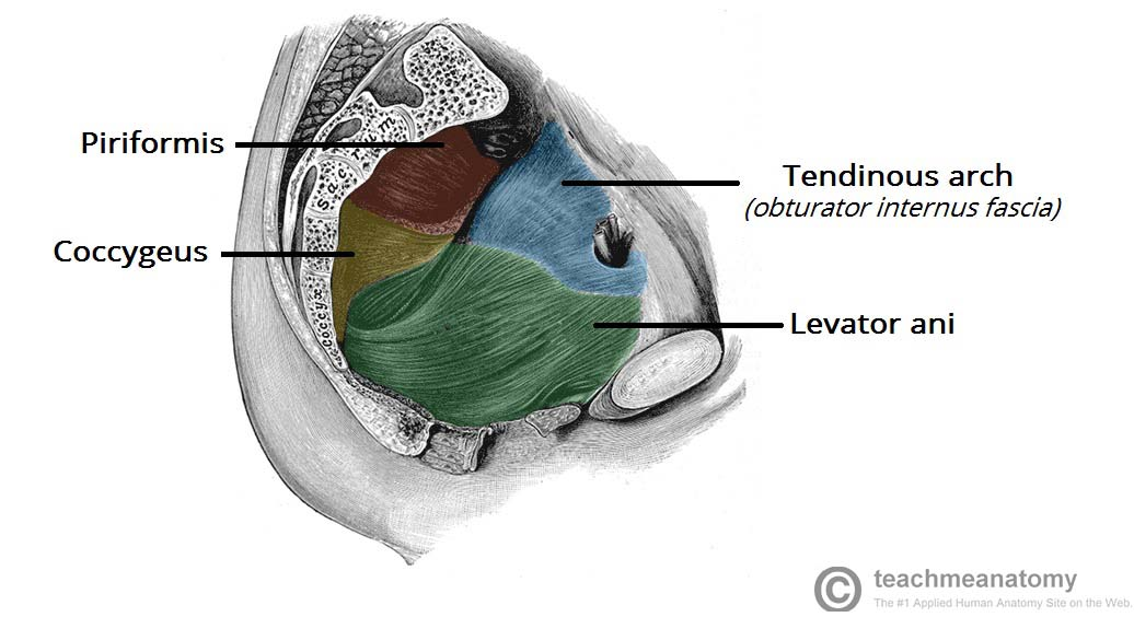 Fig 1.3 - Sagittal cut through the pelvis, showing a lateral view of the pelvic floor and walls.