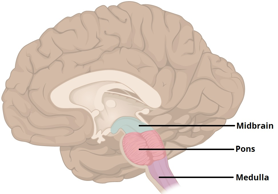Figure 1 - The three major parts of the brainstem.