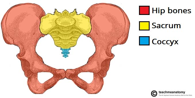 Fig 1.0 - The parts of the pelvic girdle.