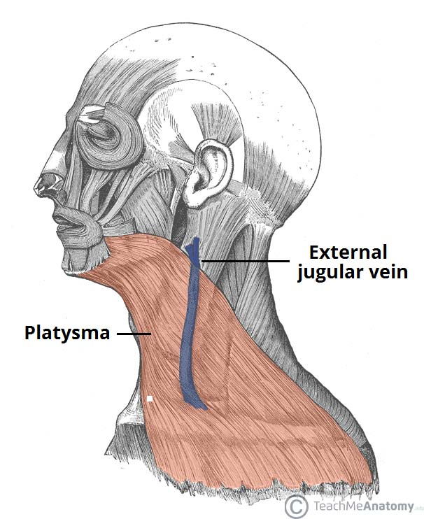 under chin muscle diagram fascial layers deep superficial teachmeanatomy  fascial layers deep superficial