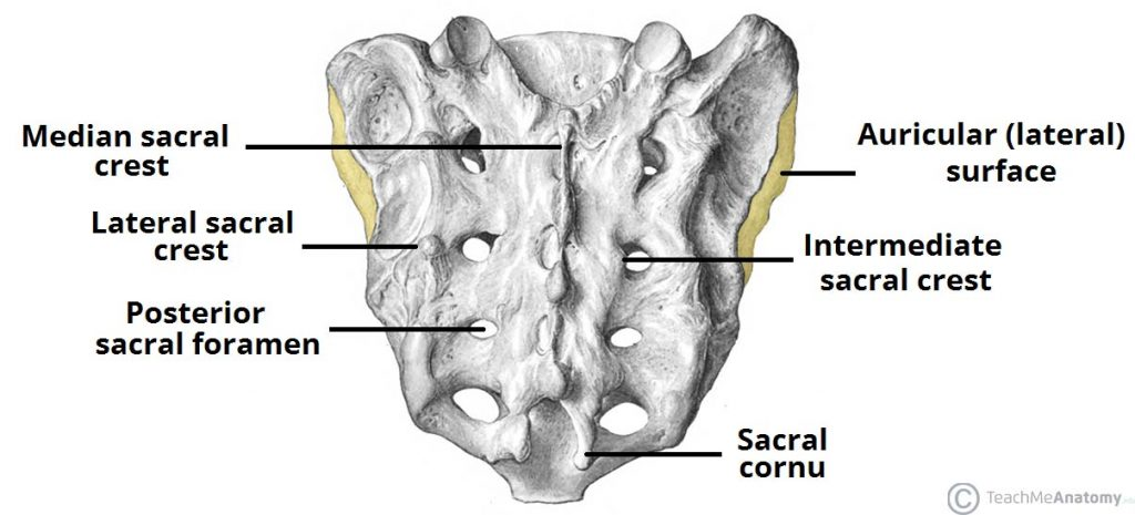 Fig 1.1 - The posterior surface of the sacrum. The lateral surfaces are also partially visible.