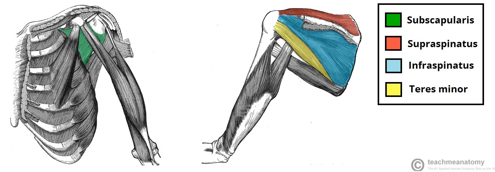 Fig 1.2 - The rotator cuff muscles, which act to stabilise the shoulder joint.