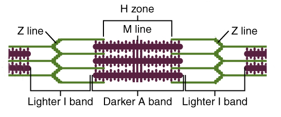 fig 2 – a sarcomere is measured from z line to z line