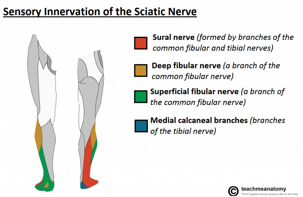 The Sciatic Nerve - Course - Motor - Sensory - TeachMeAnatomy Sciatic Nerve Branches