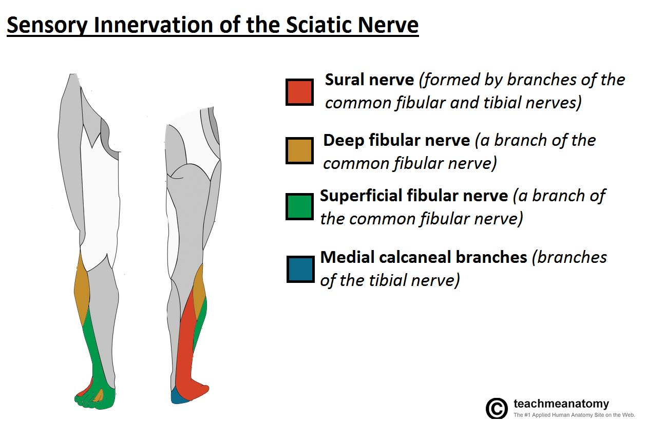 Fig 1.1 - The cutaneous innervation of the terminal branches of the sciatic nerve.