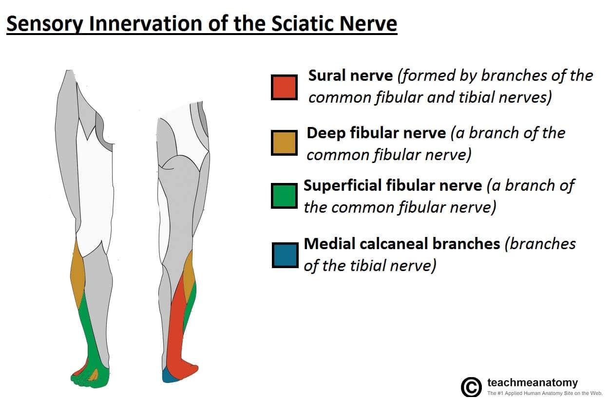 The Sciatic Nerve Course Motor Sensory Teachmeanatomy