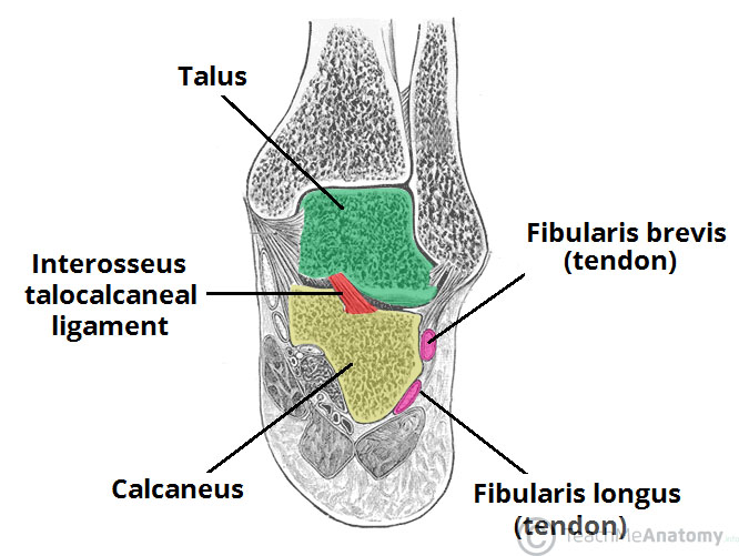 Fig 1 - The subtalar joint and interosseous talocalcaneal ligament.
