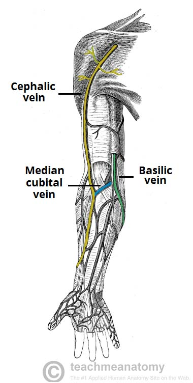 fig 1 – the superficial veins of the upper limb