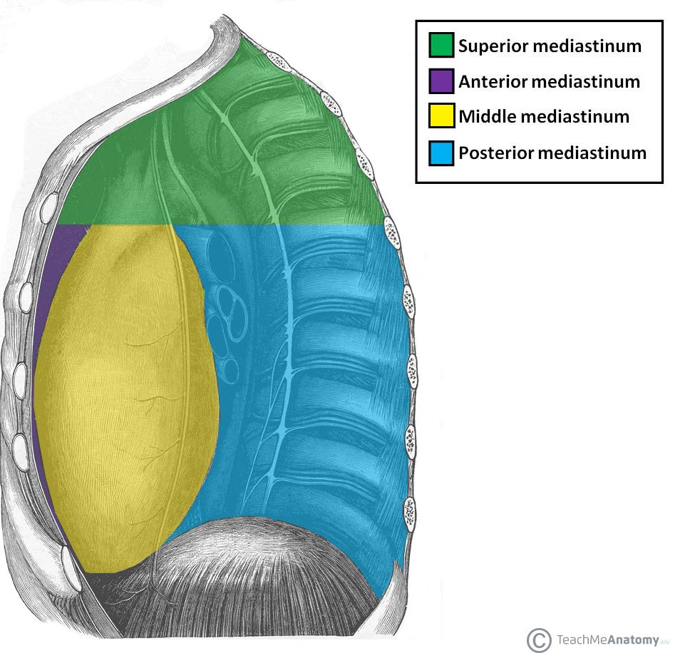 Fig 1.0 - The mediastina of the thorax.