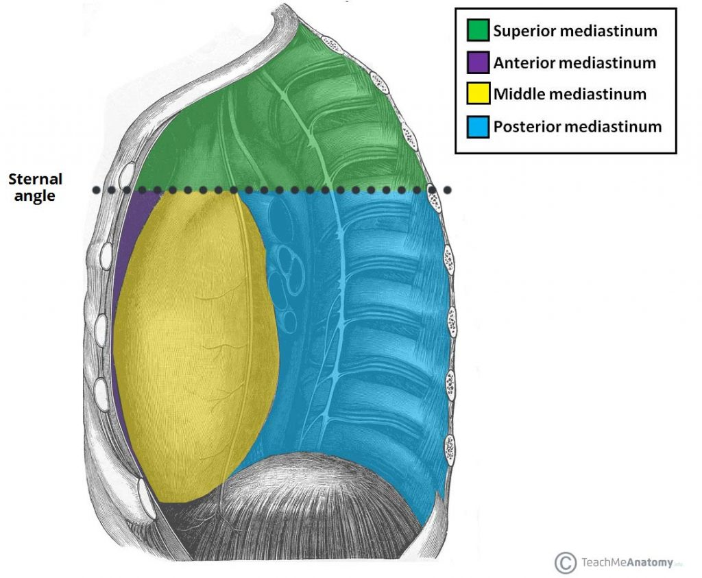 Fig 1 - The mediastina of the thorax.