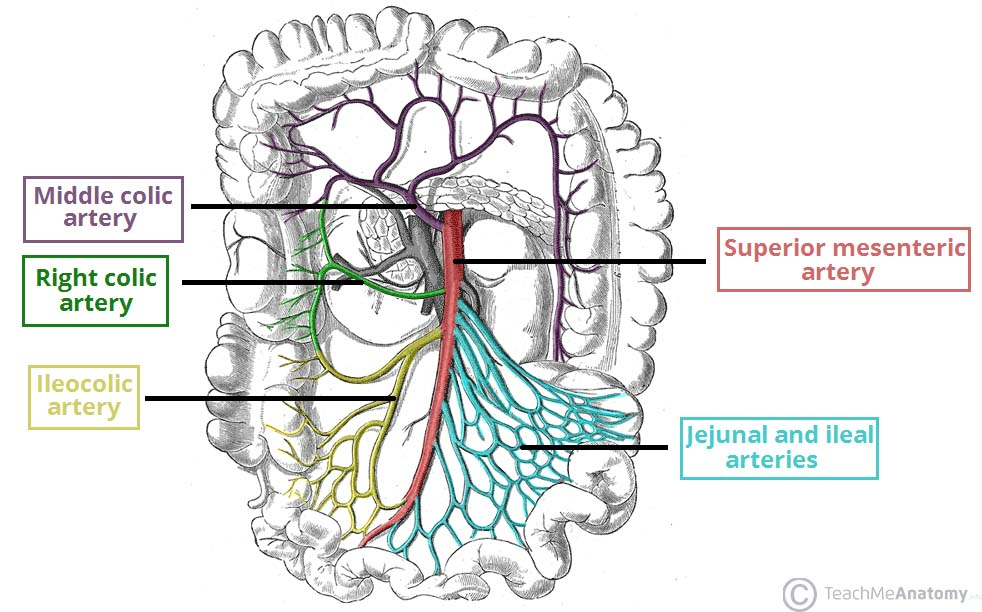 Fig 1 - The superior mesenteric artery and its branches. Note: the inferior pancreatoduodenal artery arises more proximally, and is not visible on this illustration.